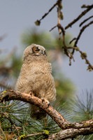 Great Horned Owl Fledgling -4