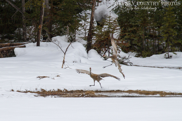 an apparently unwelcome sandhill crane flies in to land near another