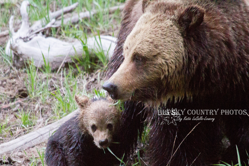 grizzly bear cub, cold, wet, tired and scared after a river crossing in which he was almost swept away, huddles near his mama