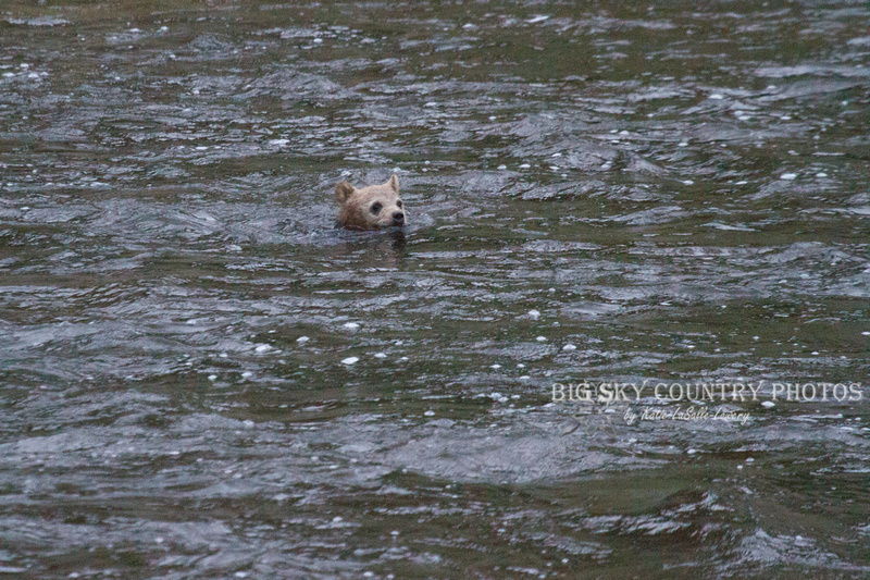 grizzly cub swimming river - only head above water