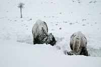 snow covered bison use their heads to plow through snow to get to grass beneath