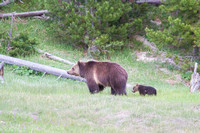 grizzly bear cub close on her mom's heels