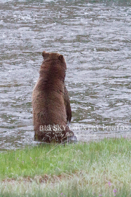 grizzly bear standing up for a better look at her cub being swift downstream by current