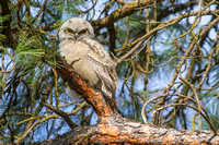 Great Horned Owl Fledgling -8