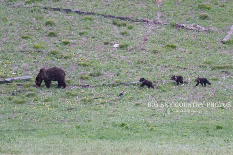 grizzly bear sow mother with three cubs of the year