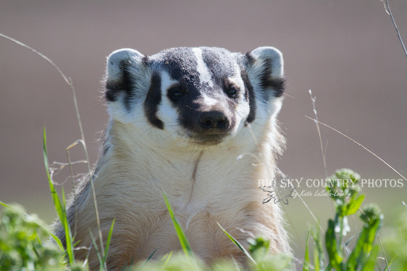 A badger at a den site keeps a wary eye on potential trespasser