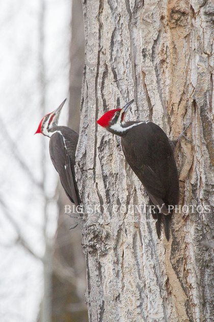 2 pileated woodpeckers