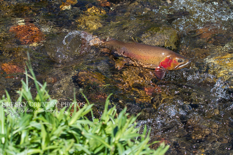 a Yellowstone cutthroat trout skims over the pebbled stream bed, partiall out of the shallow water in the inlet to Trout Lake - Yellowstone National Park