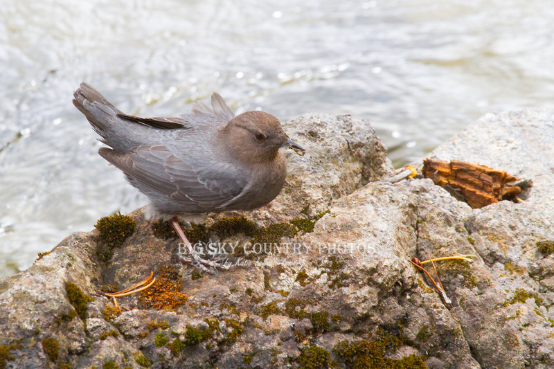 American dipper with an insect in its beak