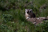 Badger at Den - Blacktail Plateau 3