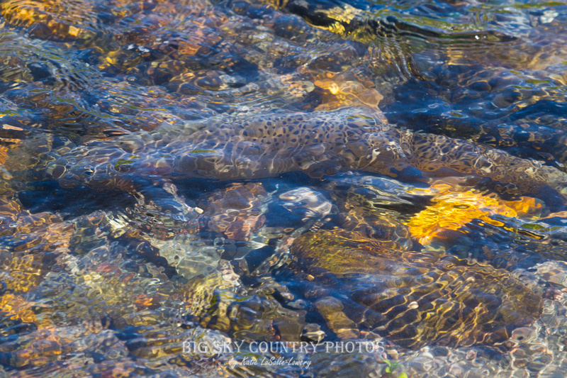 A Yellowstone cutthroat trout in the inlet of Trout Lake, blending in with the streambed stones in an almost abstract fashion