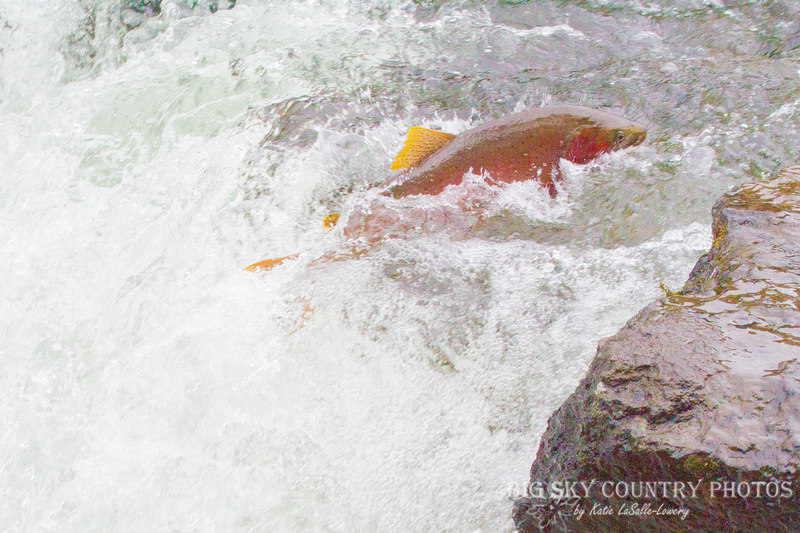 A Yellowstone cutthroat trout gets a jump start on the seasonal spawn, one of the earliest to run the LeHardy Rapids on the Yellowstone River