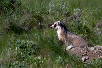 Badger at Den - Blacktail Plateau 10