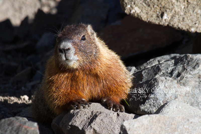 A yellow-belled marmot glistening golden in morning sunlight on Sylvan Pass in Yellowstone National Park