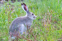 Summer white-tailed jackrabbit 1