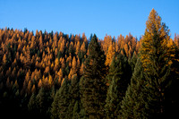 Fall Western Larch Tree Color 2013