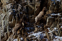 Bonner Bighorn Herd December 2014 -3