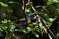 Audobon's Yellow-rumped Warbler - male